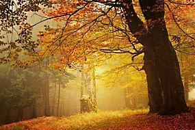琥珀色,森林,秋季,薄雾,树叶,早上,树木,草,景观199199