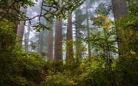 景观,薄雾,森林,红木,灌木,野花,树木,早上214328