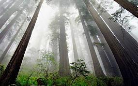 景观,红木,树木,薄雾,蕨类植物,灌木,森林,透视,加州213171